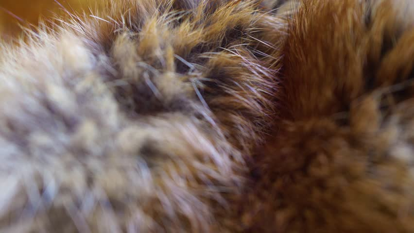 Closeup top view of fluffy texture of colorful real fox animal fur. Natural furry background. Real time 4k video footage.