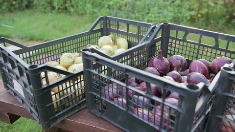 Edible, red and white onions is in a plastic crates, the onion harvest, close-up