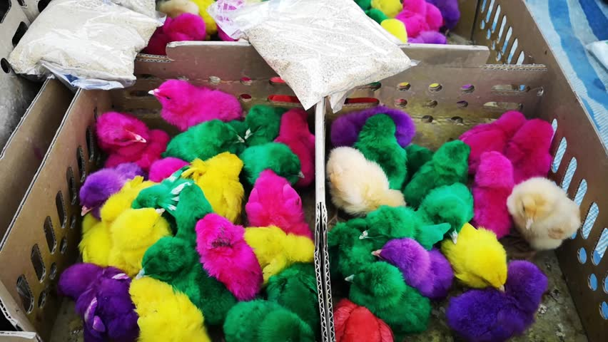 Vibrant colorful artificial dyed baby chicken chicks for sale in a local Thai street market.