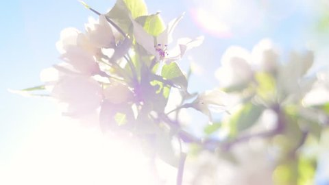 Closeup of blooming pear tree branch with lens flare on blue sky background. Beautiful spring nature scene with flowering pear tree in sunny day. Shallow dof. Slow motion hd footage. 1920x1080