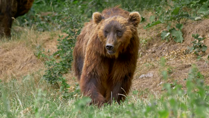 Kamchatka brown bear (Ursus arctos beringianus) in forest | Shutterstock HD Video #1015227613