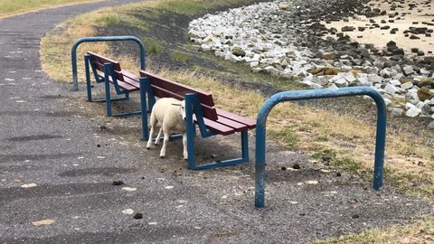 Sheep scratching his back on a bench in Friesland, The Netherlands