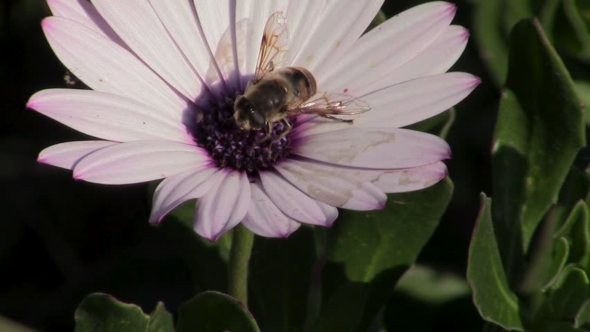 Close up macro of honey bee on white and purple African magaritas flower Dimorphotheca ecklonis