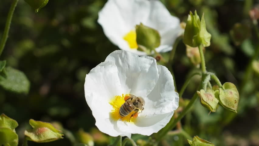 The bee feeds on nectar from a white flower. Turkey, spring