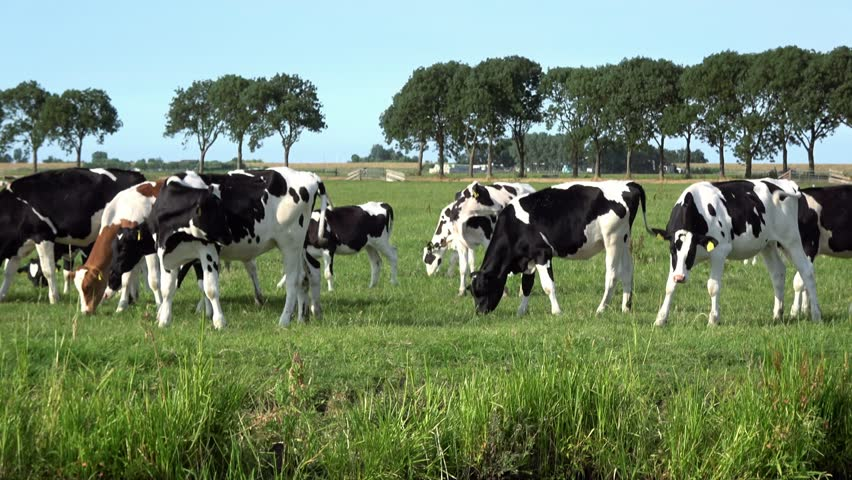 4K. Cows are grazing in the green meadow in Edam, Netherlands. Dutch landscape-Adrian