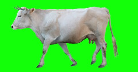 White cow walking on a transparent background. Cyclic animation. Green Screen. Can also use as a silhouette.