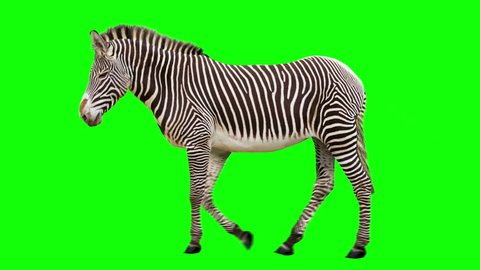 Isolated zebra cyclical walking. Can be used as a silhouette. Green Screen.