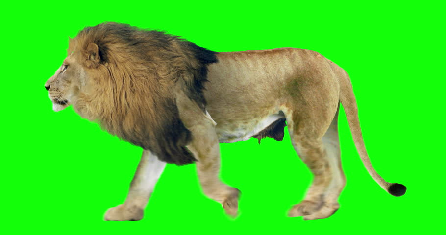 Isolated lion cyclical walking. Can be used as a silhouette. Green Screen.
