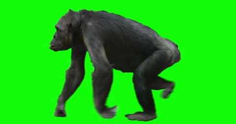 Monkey Chimp (Chimpanzze) walking. Isolated and cyclic animation. Green Screen.