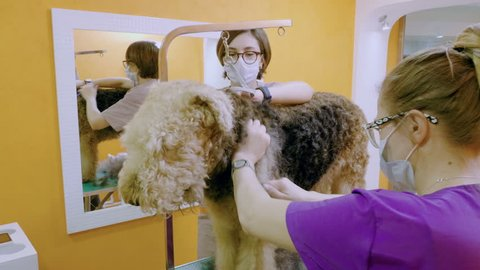 Pet grooming salon. Two women cleaning the fur and skin of airedale terrier dog. 4K