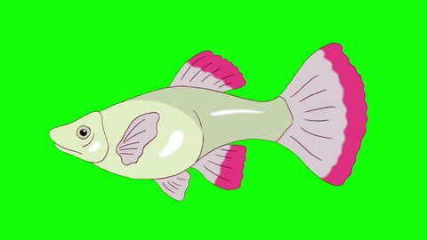 Big red Guppy Aquarium Fish floats in an aquarium. Animated Looped Motion Graphic Isolated on Green Screen
