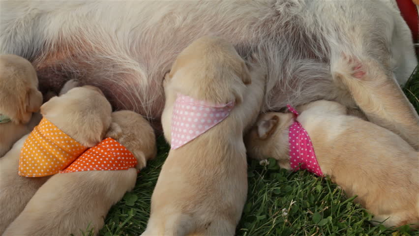 Group of newborn labrador retriever puppies massaging the breast of their mother to get milk - suckling and lying on the grass, camera slides