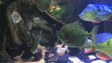 Piranhas in an aquarium. Close-up.