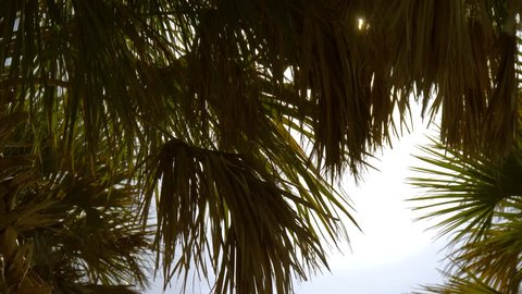 Palm branches with leaves. Deep dark green palm leaves. Coconut palm trees, beautiful tropical background. Dark silhouettes of palm trees on blue sky background. Summer luxury vacation.