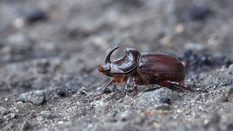 Insect Dynastinae or rhinoceros beetles are subfamily of scarab beetle  family Scarabaeidae. Some for particular groups of rhinoceros  – include Hercules, unicorn or horn beetles