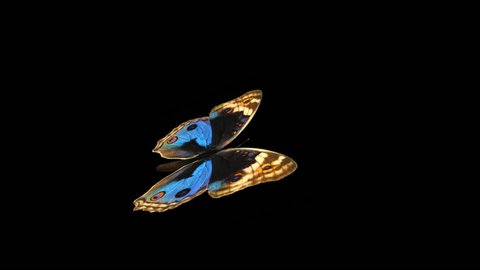 Butterfly - Blue Pansy - Flying Loop - Alpha Channel - 3D animation of realistic model ready to fly by your custom moving path.