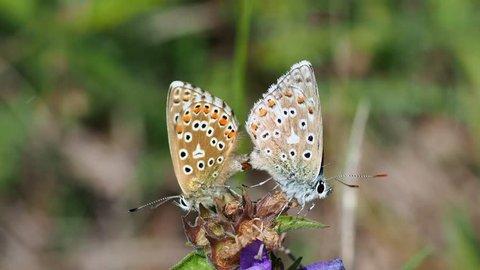 Adonis blue (Polyommatus bellargus) butterflies mating.