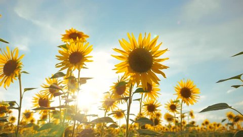 Sunset over the field of sunflowers against a cloudy sky lifestyle. harvesting agriculture sunflowers field concept nature. Beautiful summer landscape agriculture. slow motion video. field of blooming