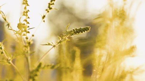 macro shot ragweed plant causes allergia running nose ukraine poltava medicine august september nature background