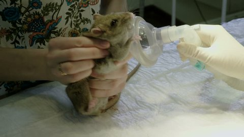 Vet preparing a rat for surgery, putting on muzzle an oxygen mask for  anesthesia in animal hospital  4k