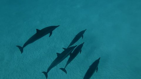 Group of Spinner Dolphins swims over the sandy bottom (High-angle shot, Underwater shot, 4K / 60fps)