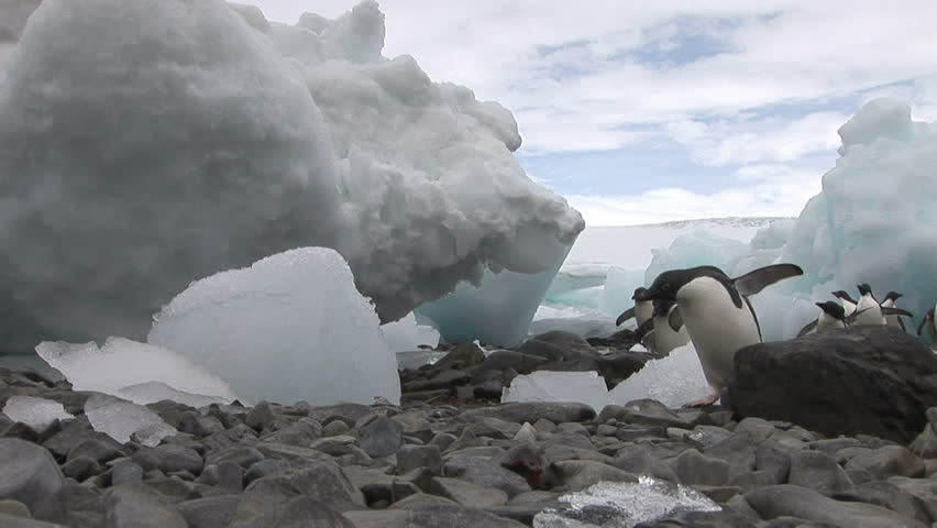 Low angle shot of Adelie Penguins running between beached icebergs