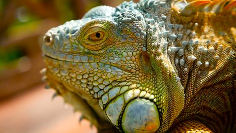 Sleeping dragon. Close-up portrait of a resting vibrant Lizard. Selective focus. Green Iguanas are native to tropical areas of Mexico, Central America, South America, and the Caribbean
