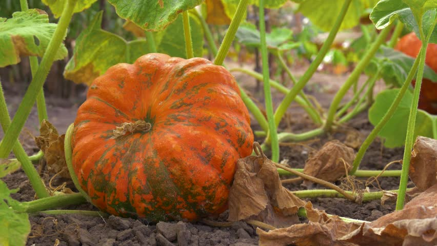 Ripe orange flat-shaped pumpkin lies on a vegetable garden in a natural environment. Pumpkin growing in the vegetable garden. Orange pumpkins at outdoor farmer market. Pumpkin in rural scene.