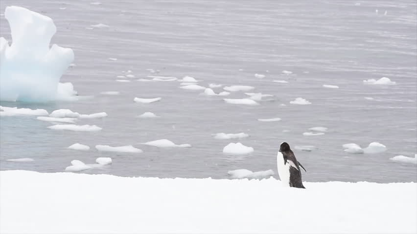Gentoo Penguins on the snow | Shutterstock HD Video #1016014753