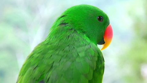 lose-up of green eclectus parrot watching around and then starting to preen its plumage. Portrait of gorgeous bright colored tropical bird against foliage on background. Exotic avian species.