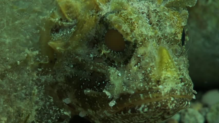 Mouth and eye of the black scorpionfish (Scorpaena porcus). It is avenomous scorpionfish, common in marine subtropical waters. It is widespread in the Eastern Atlantic Ocean, in the Black sea