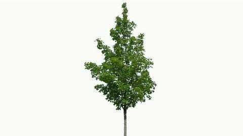 High quality 10bit footage of tree on the wind isolated on white background.