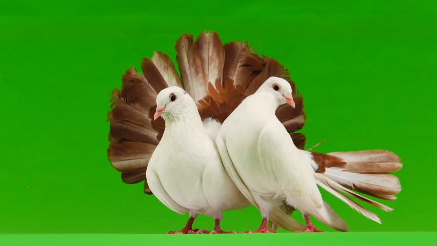 two white dove peacock isolated on a green screen as symbol of peace