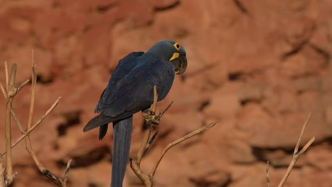 A rare blue Hyacinth Macaw moving in a tree branch