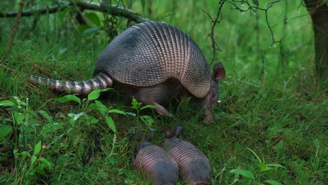 Nine-banded armadillo with two youngsters
