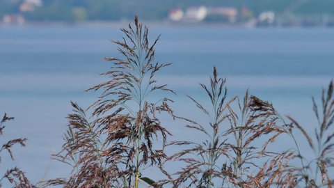 reed blooming closeup at shore in Altnau. lake Bodensee. CH Switzerland 13th Sept.2018