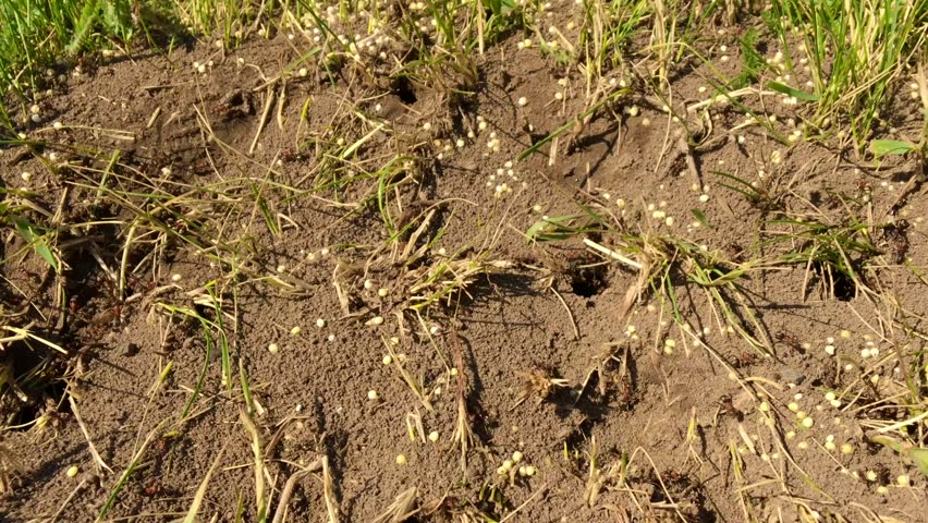 Wild brown ants swarming around their anthills. Anthill in the forest among the dry leaves. Insects working emmet running around near the hole in the ground, macro anthill. Ant in ant hill colony.