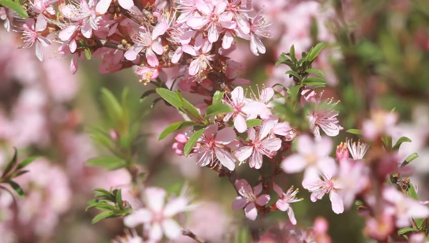 Flowering almond tree stock footage video 15624088 shutterstock an almond bush with pink blossoms trembling in the spring wind hd stock mightylinksfo Images