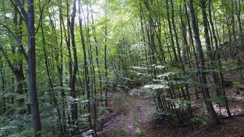 Drone shot aerial forest fly through in sunny early autumn green beech forest / Drone shot aerial forest fly through in sunny early autumn green beech forest