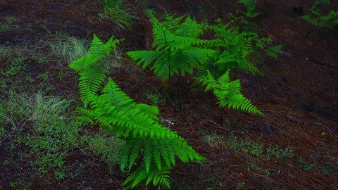 PINO CANARIO (Pinus canariensis), CANARY ISLANDS PINE and Ferns , El Pilar, El Paso, La Palma, Canary Islands, Spain, Europe