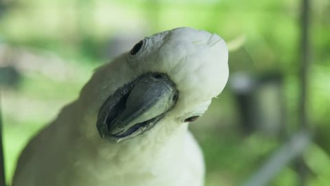 White parrot cockatoo clicking beak and looking into camera. Close up cockatoo parrot in wild nature
