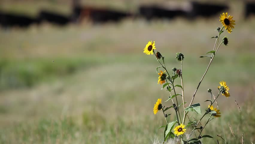 Flowers in the field with cows grazing in the background