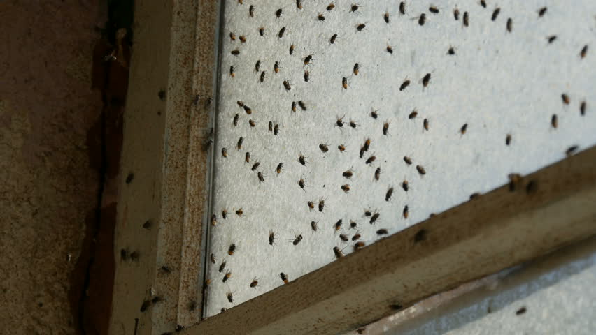 Lot of housefly or Musca domestica that fly on an old dirty vintage abandoned window. Many house fly swarming in the house