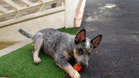Puppy of Australian Cattle Dog Blue Heeler eating carrot in interior of Rio de Janeiro Brazil