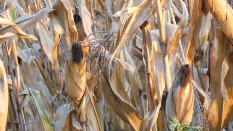 Lot of dried corn on the field. Yellow ripe corn growing on stalk in the open air close up view
