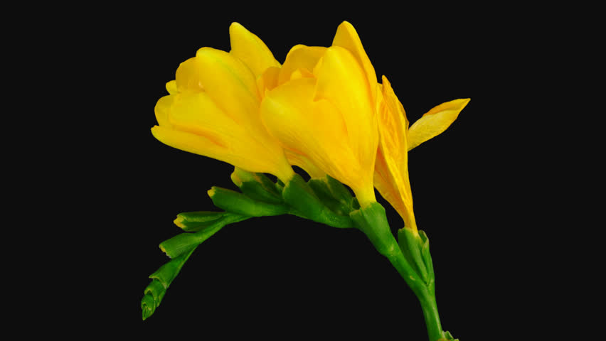 Time-lapse of dying yellow freesia flower 4b1 in PNG+ format with ALPHA transparency channel isolated on black background  | Shutterstock HD Video #1016744173