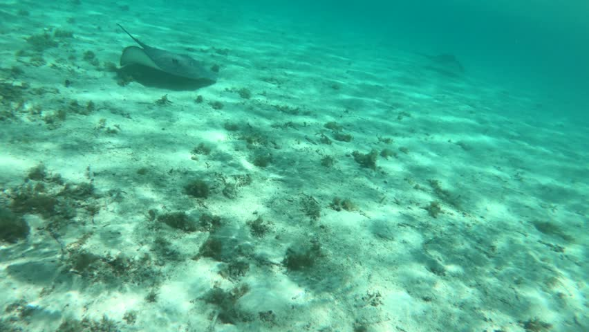 A Tahitian stingray (Himantura fai) swims in shallow water in a beautiful lagoon off Bora Bora island in French Polynesia, South Pacific Ocean (view from action camera)