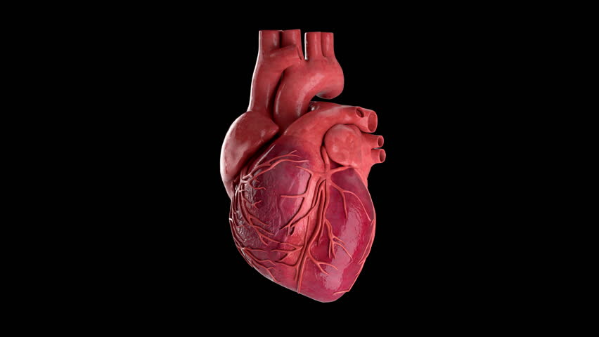 Human Heart Beating 4K Rotating Seamless Loop on Black with Luma Matte
