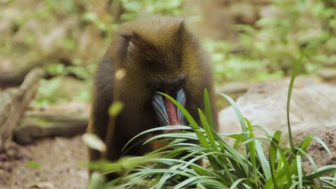 Female Mandrill walking with foliage in front of her. She stops to play with a leaf beforeing on.