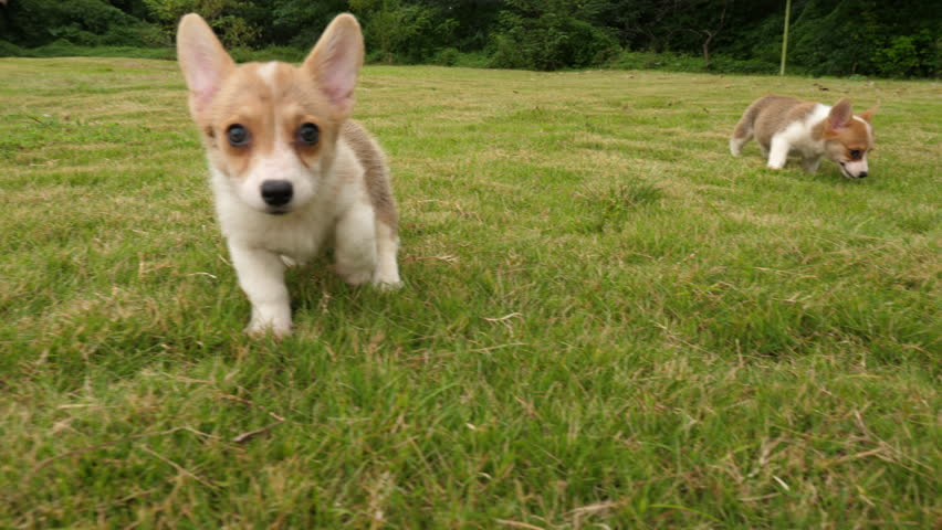 Group of cute puppy Welsh Corgi  running around the grass outdoor in the Park ,  running at the camera in slow motion wide angle shooting 60fps 4k #1016956993